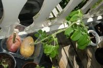 Rosestiklinger i potet